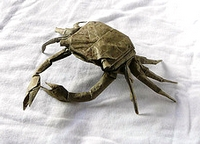 Origami Shore crab by Brian Chan on giladorigami.com